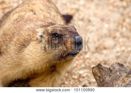Alpine Marmot (marmota Marmota) In The Aviary Zoo. The Protagonist Of The Beautiful Tradition - Grou
