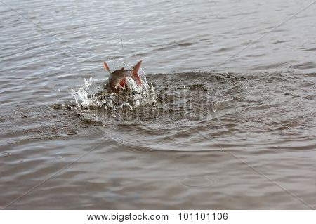 Grayling Fishing Northern Fish
