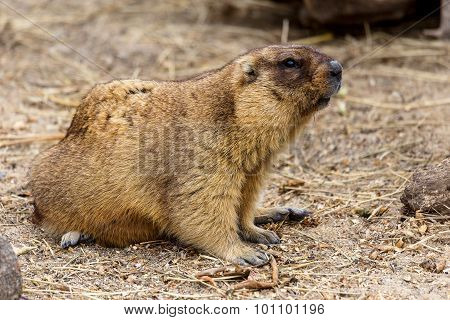 Alpine Marmot (marmota Marmota) In The Aviary Zoo. The Protagonist Of The Beautiful Tradition - Grou