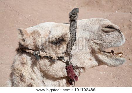 Laughing Camel