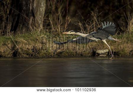 Grey Heron ardea cinerea flying across an icy pond
