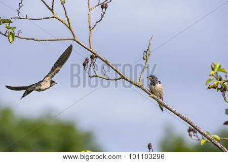 An adult Swallow Hirundo rustica flying to feed a juvenile Swallow