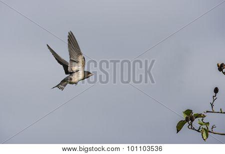 Swallow Hirundo rustica flying towards a tree