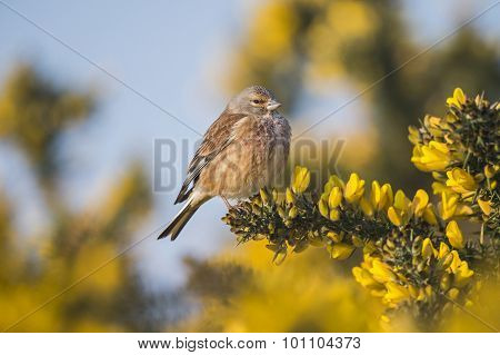 A male Linnet Carduelis cannabina on gorse bush
