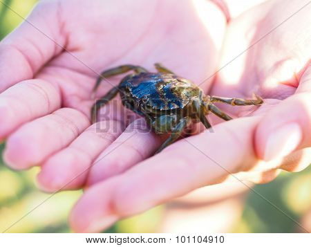 Small Green Crab In Hands Away From Water