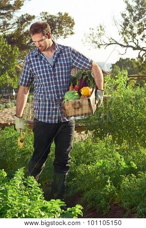 Farmer pruning and tending to his organic sustainable vegetable patch while holding a crate of fresh produce