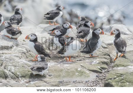 A group of Puffins Fratercula artica on a rock