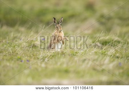 Brown Hare, Lepus, boxing in a field