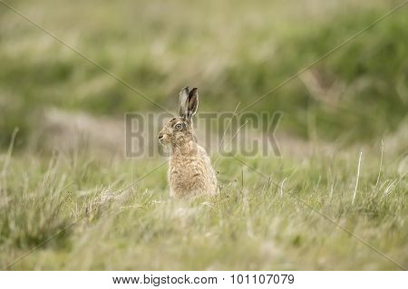 Brown Hare, Lepus sitting upright on the grass