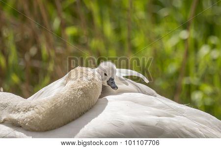 Cygnet sitting on its sleeping adult Swans back