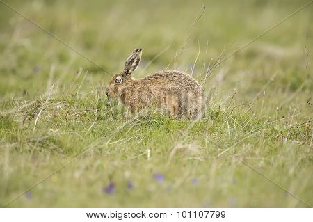 Brown Hare, Lepus, sitting in the grass