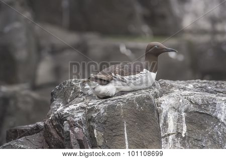 Common Guillemot Uria aalge sitting on a rock asleep
