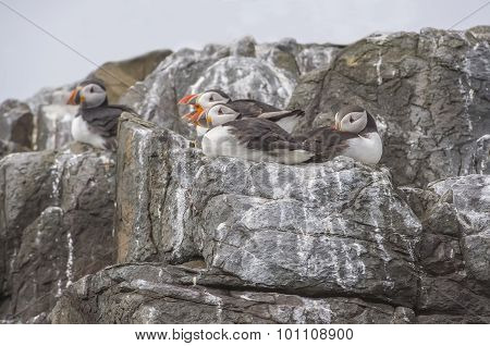 Puffins Fratercula arctica sitting on some rocks at the cliff edge