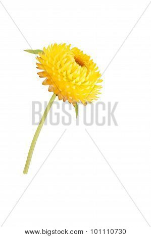 Strawflower With Stalk On A White Background
