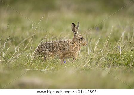 Brown Hare, Lepus, walking in a field
