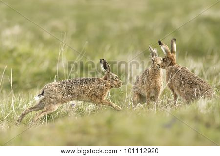 Brown Hares, Lepus, running around in a field