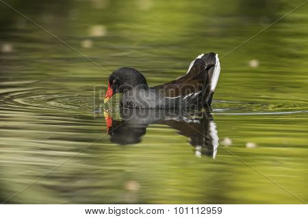 Moorhen, Gallinula chloropus, feeding on a pond