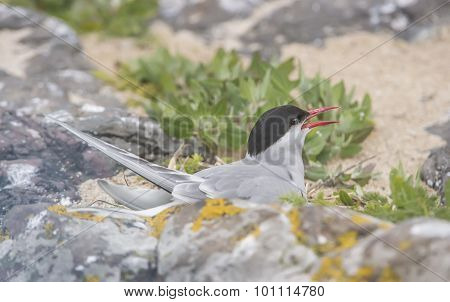 Arctic tern Sterna paradisaea sitting on the sand squawking