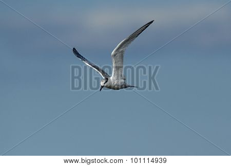 Common Sterna hirundo tern in flight with a blue sky background
