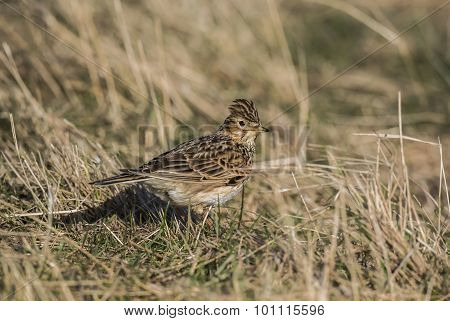 Skylark Alauda arvensis standing on the grass
