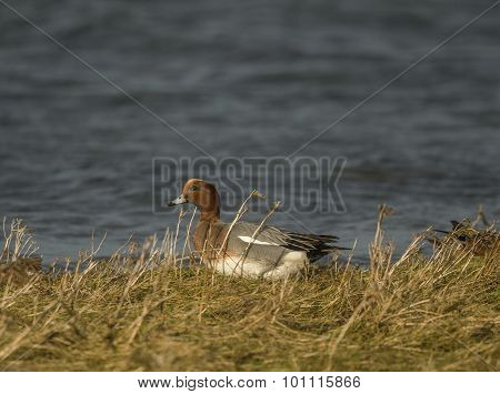 Wigeon Anas penelope sitting in front of the sea in the grass