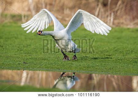 Mute swan, Cygnus olor, taking flight tom the grass