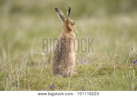 Hare sitting in the grass, upright with its ears up