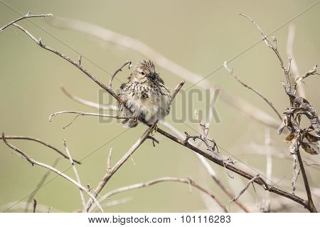 Meadow pipit on a branch with bugs in its beak