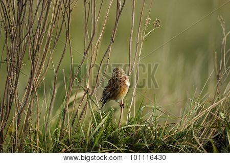 Linnet Carduelis cannabina perched on dry grass stems