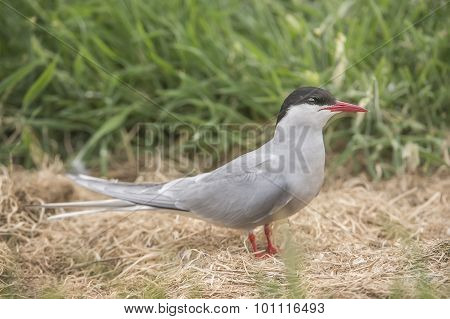 Arctic tern Sterna paradisaea standing on some dry grass