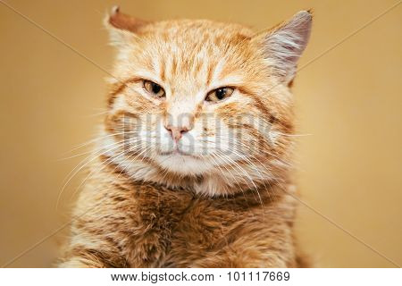 Red Cat Male Kitten On Yellow Background