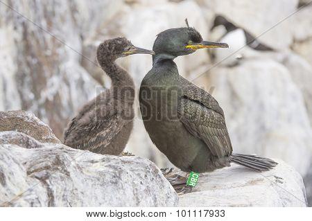 European Shag Phalacrocorax aristotelis European Shag Phalacrocorax aristotelis adult and chick on t