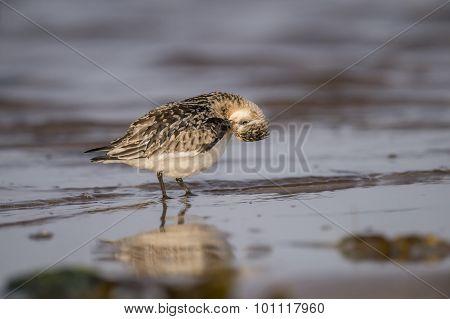 Sanderling Calidris alba grooming itself on the shoreline