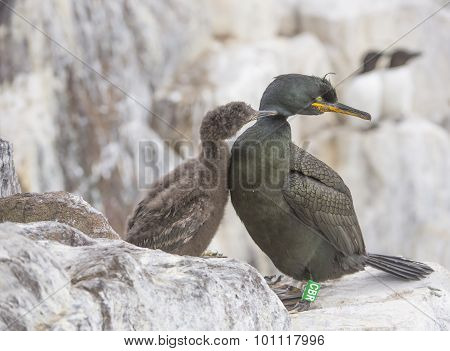 European Shag Phalacrocorax aristotelis adult on the cliff edge being pecked by its chick