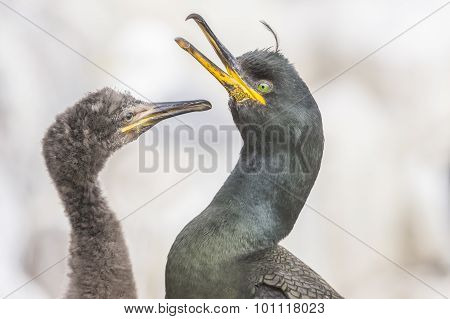 European Shag Phalacrocorax aristotelis adult squawking and chick close up