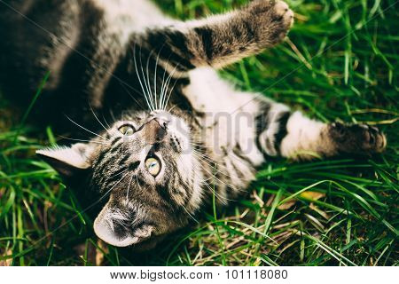 Playful Cute Tabby Gray Cat Kitten Pussycat Play In Grass Outdoo