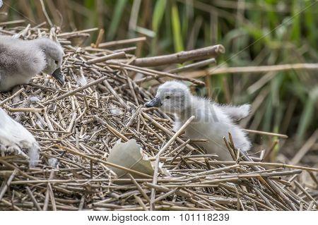 Cygnet climbing back up onto its nest