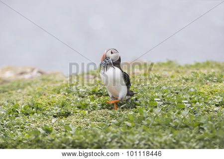 Puffin Fratercula arctica standing on the grass with a beak full of Sand eels