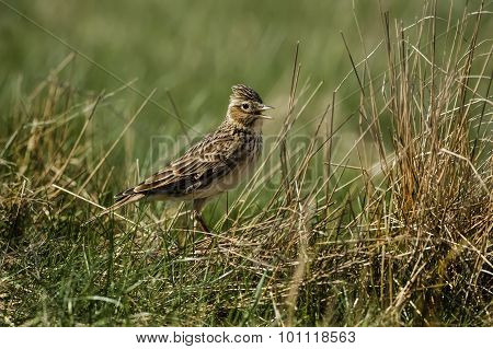 Skylark Alauda arvensis standing on the grass tweeting