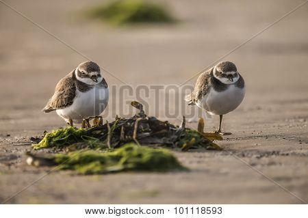 Ringed plover pair standing on the beach