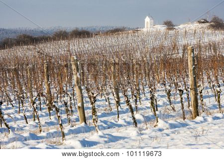 winter vineyard near Hnanice, Southern Moravia, Czech Republic