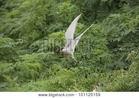 Arctic tern Sterna paradisaea hovering above two hungry chicks