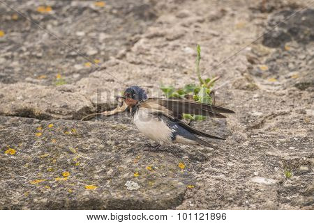 Swallow Hirundo rustica juvenile standing on some rocks