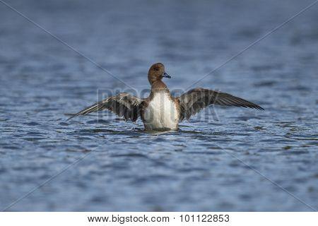 Wigeon Anas penelope displaying on a pond