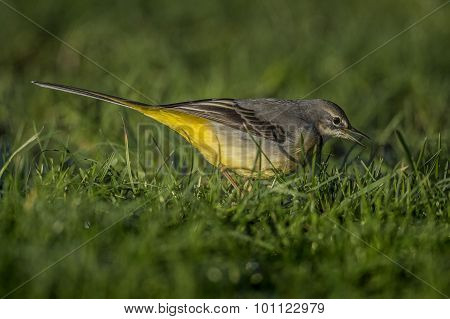 Grey Wagtail Motacilla cinerea standing on grass tweeting