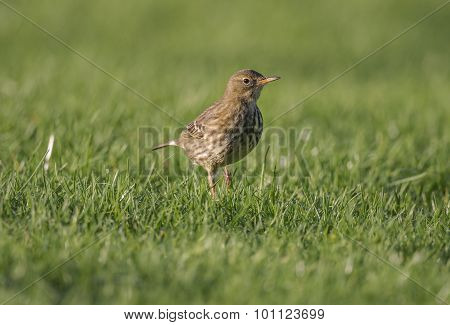 Song thrush Turdus philomelos on the grass