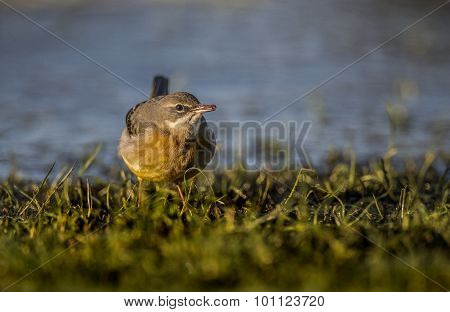 Grey Wagtail Motacilla cinerea standing on grass eating