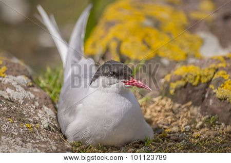 Arctic tern Sterna paradisaea sitting between some rocks