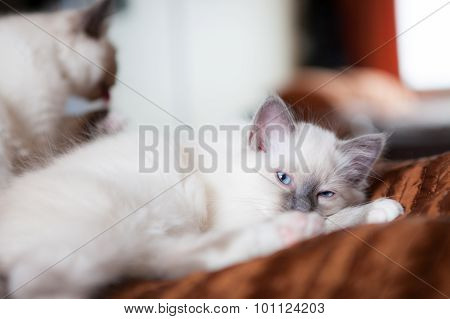 White cat looking at camera lying in bed