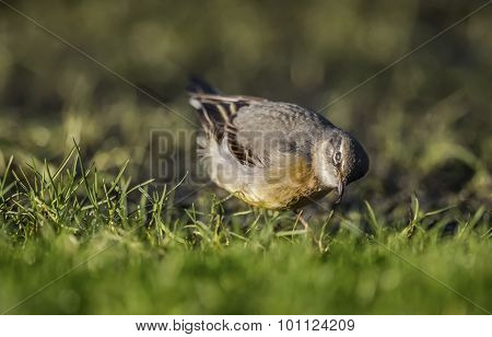 Grey Wagtail Motacilla cinerea standing on grass eating a worm